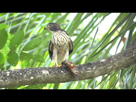 Harpagus bidentatus -juvenil-