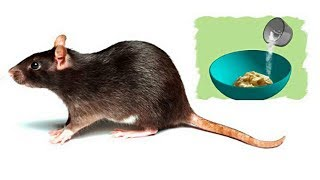 How to Get Rid of Rats Naturally   8 Home Remedies to Get Rid of Rats