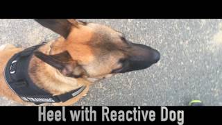 8-Month Old Malinois, Cash! Belgian Malinois Dog Training | Off Leash K9 Training