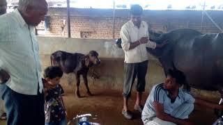 buffalo milking machine hyderabad - 免费在线视频最佳电影电视