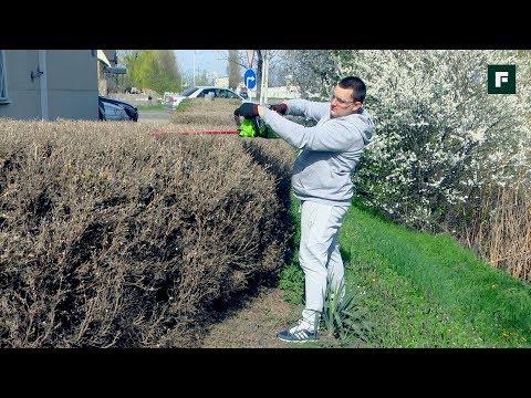 Как сформировать живую изгородь. Выбор аккумуляторного кустореза и правила обрезки // FORUMHOUSE