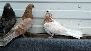 Племенные голуби и их голубята