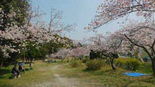 朝霧公園 桜