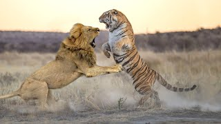 Lion VS Tiger -  Who Will Win In A Fight ?