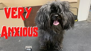 VERY Anxious Matted Dog Groom | VERY VERY Nervous