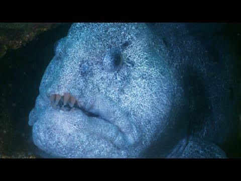 Enormous Wolf Eel Eats Out of This Diver's Hand