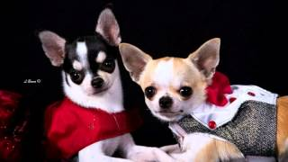 Dog Dresses: Chihuahua
