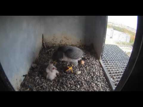 Nest 2: Feeding Chicks - 14.04.17