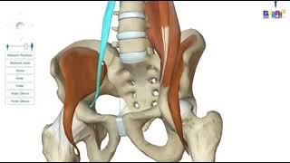 Anatomie des membres inférieurs