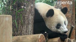 今日のシャンシャン10月16日上野動物園香香パンダ