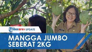 Mangga Jumbo 2Kg di Langowan Viral di Media Sosial, Usianya 3 Tahun