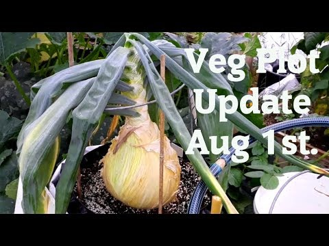 Allotment Diary Aug 1st Veg plot, Polytunnel, Greenhouse & Giant Veg update