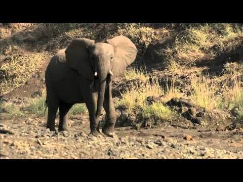 Battle between lions, hyenas and elephants at Mashatu. Filmed by Aquavision at Mashatu Game Reserve.