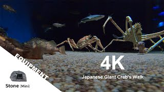 【Animal FPV】4K Japanese Spider Crab's Walk タカアシガニの歩き方 【アニマルFPV】