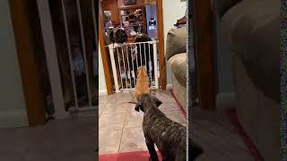 American Mastiff Puppies Videos
