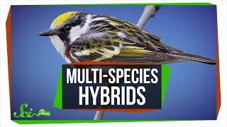 When Three Species Combine: Multi-Species Hybrids