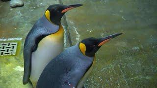Többségben a kisebbségi pingvinek egy ír akváriumban