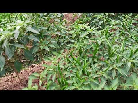 Ớt đang lớn tưới nước nhiễm thuốc diệt cỏ và cái kết - 0938665529