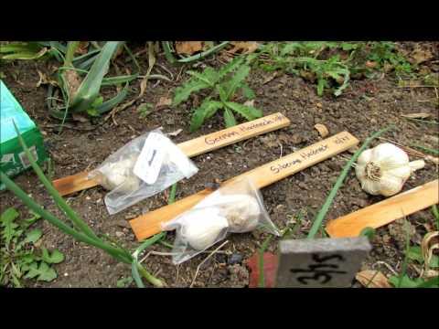 , title : 'Growing Organic Garlic in Earth Beds: German & SIberian Hardneck,  Depth, Spacing & Fertilizing