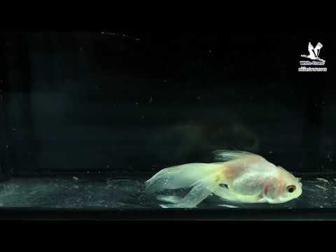 โรคจุดขาวในปลาทอง