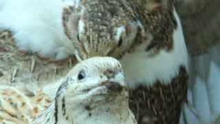 My coturnix quail is broody and sitting her own eggs. Codorniz cubriendo sus óvulos  Caille couve