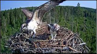 Young osprey Daisi learns to carry fish.
