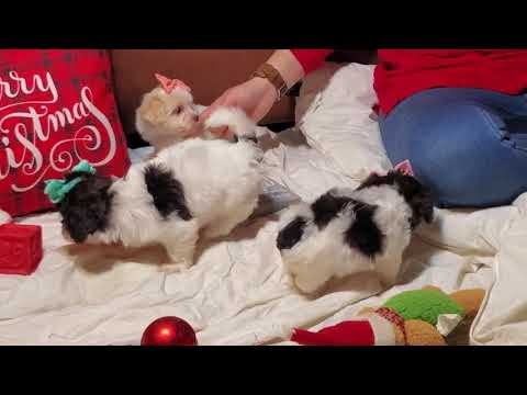 Merry Christmas from the Havanese Litter