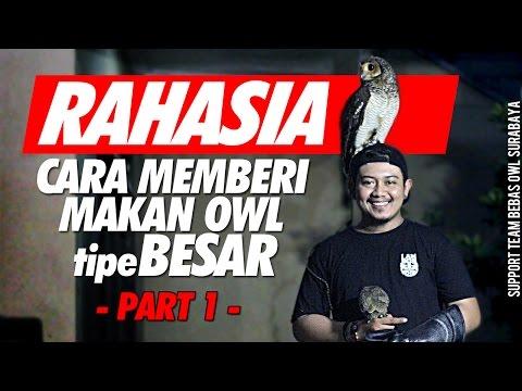 Video RAHASIA cara memberi makan OWL tipe BESAR (part1) #TIPS