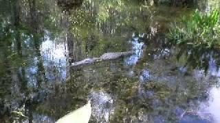 Big Cypress, des alligators dans la river
