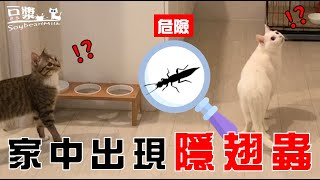 [Soybean Milk Cat] So scared!! Jun Rong almost ate paederus