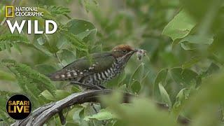 Safari Live - Day 361   Nat Geo Wild