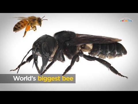 Βρέθηκε γιγάντια μέλισσα, είναι ζωντανή και το μέγεθός της… τρομάζει! (βίντεο)