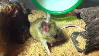 Spinifex Hopping Mouse Grooming