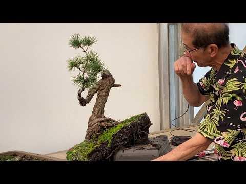 Transforming Bonsai - White Pine Restoration