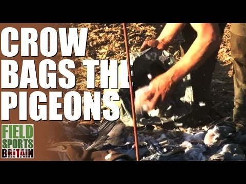 Fieldsports Britain – Crow bags the pigeons