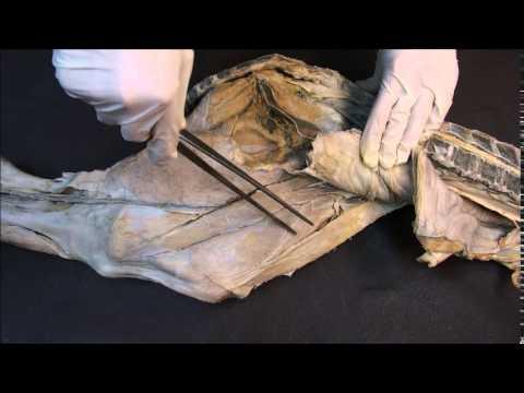 мышцы тазобедренного и коленного суставов крупного рогатого скота; бедренный канал