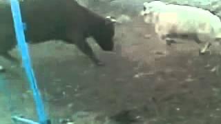 Баран напал на корову - Sheep attacks cow - funny !