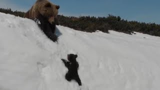 Determined Baby Bear Climbs Steep Mountain to Reunite With Mama