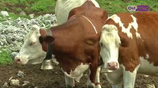 Вода для коров в Швейцарии — армейскими самолетами