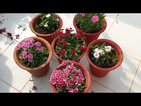 Dianthus Care Tips || How to Grow and Care Dianthus Plant || Fun Gardening