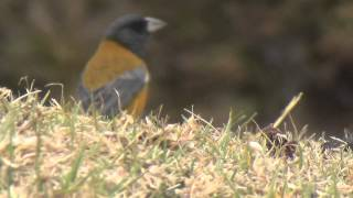 preview picture of video 'Aves de Bolivia: Isla del Sol. Gorrión. Phrygilus punensis'