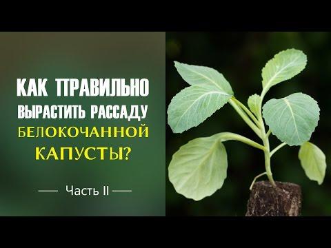как вырастить семена капусты белокочанной