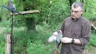 palombe.org Séance d'entrainement de pigeons sur fil