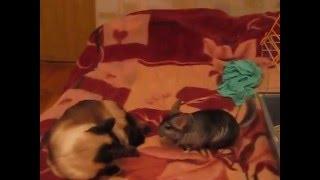 шиншилла против кота