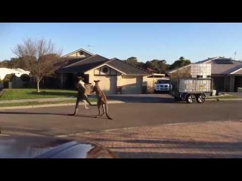 Kenguruer barker sammen midt på gata