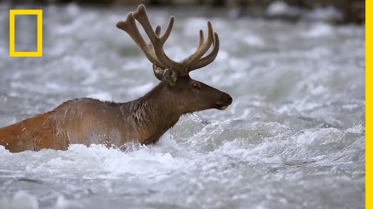 Take an Epic Journey With the Elk of Yellowstone   Short Film Showcase thumbnail