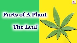 Parts of A Plant - The Leaf | How Leaves Produce Oxygen? | Structure of A Leaf | Periwinkle