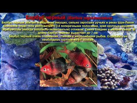 Топ самых красивых аквариумных рыбок.  Барбусы