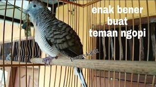 Burung Perkutut Bangkok Suara Nglaras