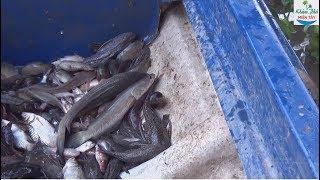 161 | Đi thăm lú dính cá thấy ham | Fishing